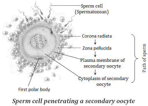 Learn Penetration Of Sperm Into The Ovum Capacitation Meaning Concepts Formulas Through Study Material Notes Embibe Com