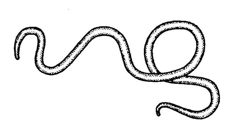 nematofora nemathelminthes