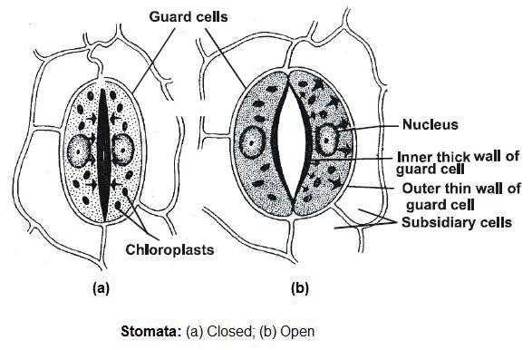 Learn Stomata meaning, concepts, formulas through Study