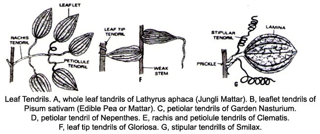 Learn Leaf Spines meaning, concepts, formulas through Study Material