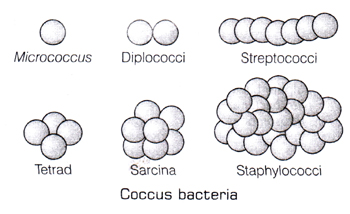 Learn cocci sphere shaped meaning concepts formulas through study vi sarcinae l sarcio tie cocci are divided in three planes at right angles to one another and resemble cubical packets of 8 27 or more cells ccuart Images