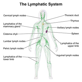 Component of lymphatic system embibe skin etc that are associated with the mucosa associated lymphoid tissue malt in the gastrointestinal wall the appendix has mucosa resembling that ccuart Image collections