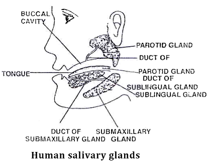 Learn Salivary Glands Meaning Concepts Formulas Through Study