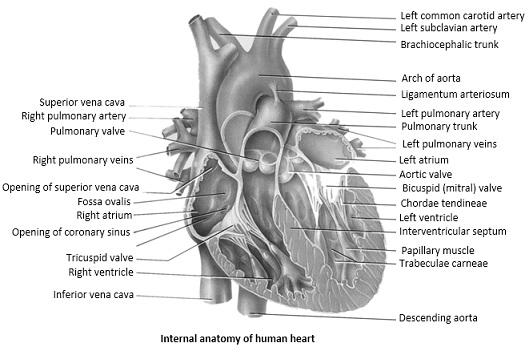 internal structure of heart - embibe, Muscles
