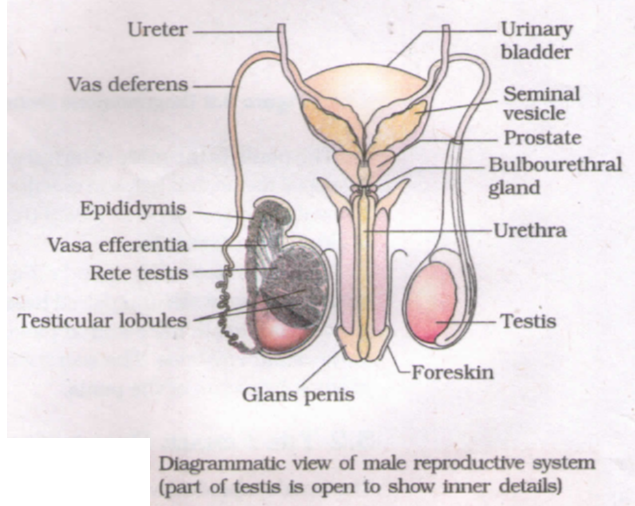 Learn Male Reproductive System meaning, concepts, s through ... on male digestive tract diagram, skeletal system diagram, musculoskeletal system diagram, male skeletal system human skeleton, circulatory system diagram, bull reproductive tract diagram, pituitary system diagram, heart diagram, immune system diagram, male reproductive function, respiratory system diagram, spermatogenesis diagram, cardiovascular system diagram, digestive system diagram, nervous system diagram, the endocrine system diagram,