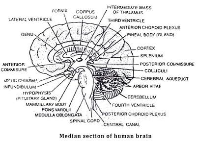 Learn Mid Brain Mesencephalon Meaning Concepts Formulas Through
