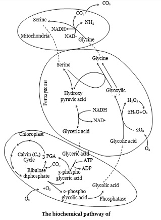Learn Photorespiration Meaning Concepts Formulas Through Study