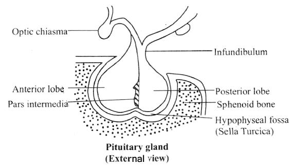 pituitary gland - embibe, Sphenoid