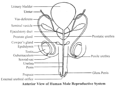 male reproductive system - embibe, Human Body
