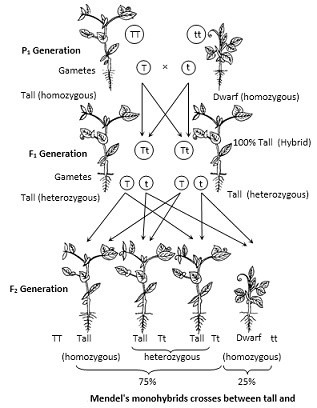 Monohybrid Cross Definition Biology - slidesharedocs